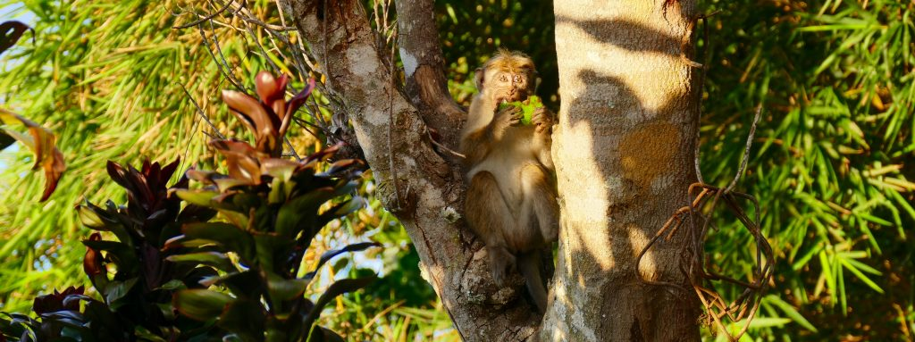 Monkeys invasion at Dias rest, white monkey in Haputale