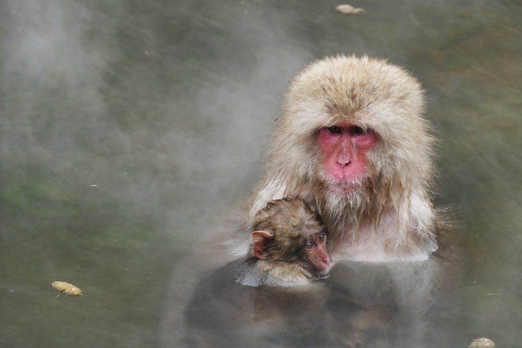 Japon, les macaques des neiges à Yudanaka