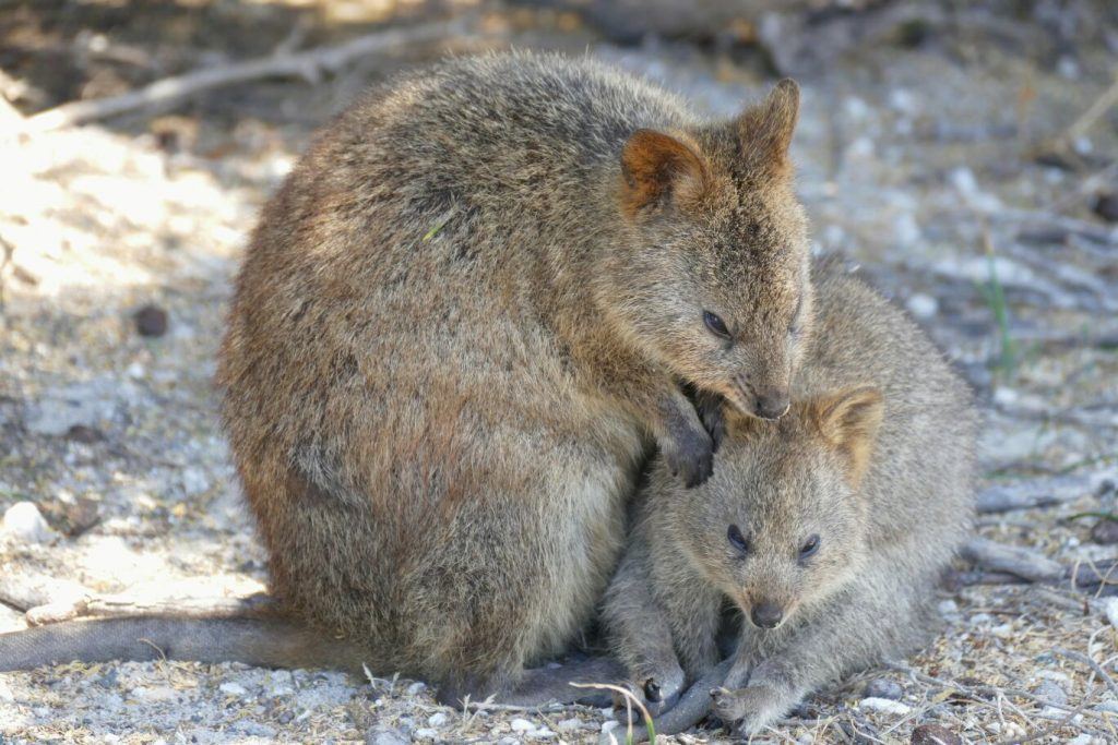 Australia, quokkas in Rottnest Island