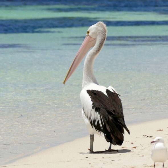 Pelicans @ Rottnest Island