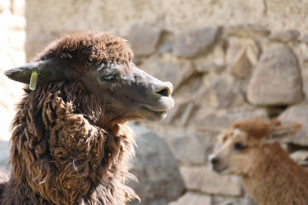 Peru, alpacas @ Ollantaytambo