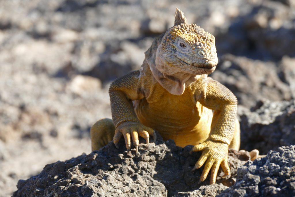 Ecuador, pale iguana @ Galapagos