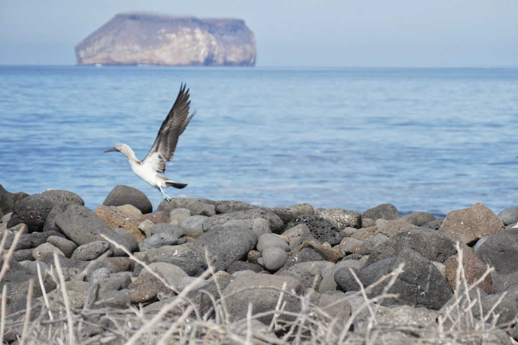 Ecuador, blue footed booby @ Galapagos