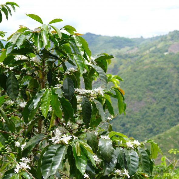 Colombia, coffee plant blooming @ San Agustin