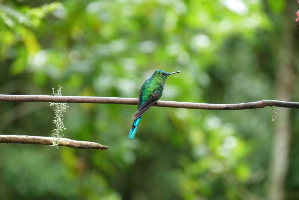 Colombia, colibri @ Valle de Cocora