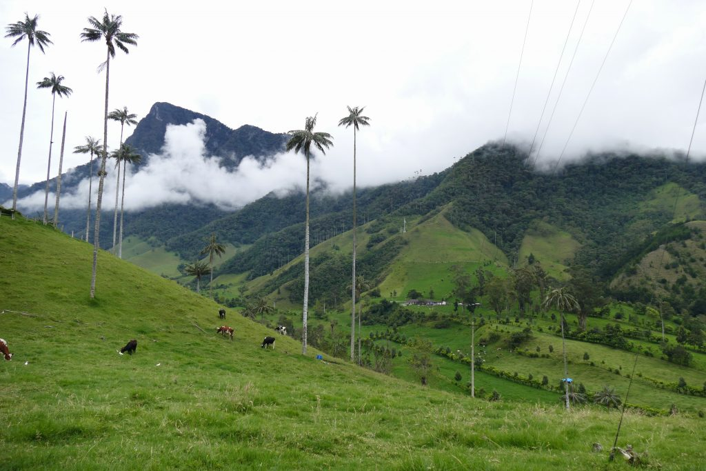Colombia, wax palm trees @ Valle de Cocora