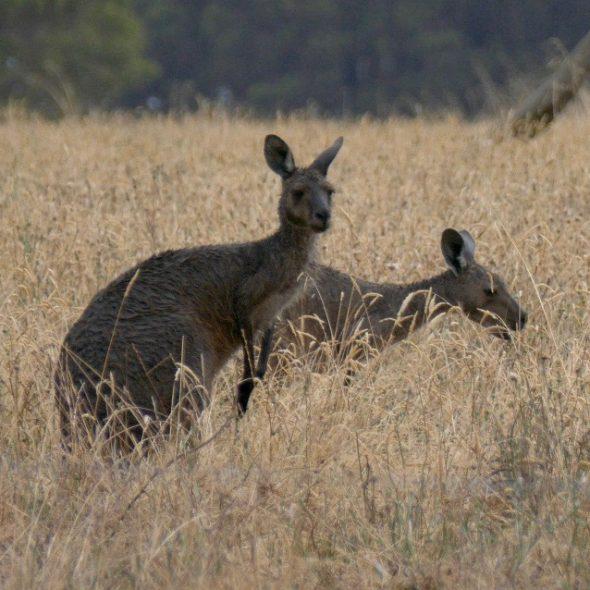 Australia, Kangaroos in Westen Austrlia